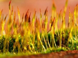 пророщенные зерна,пророщенные зерна пшеницы